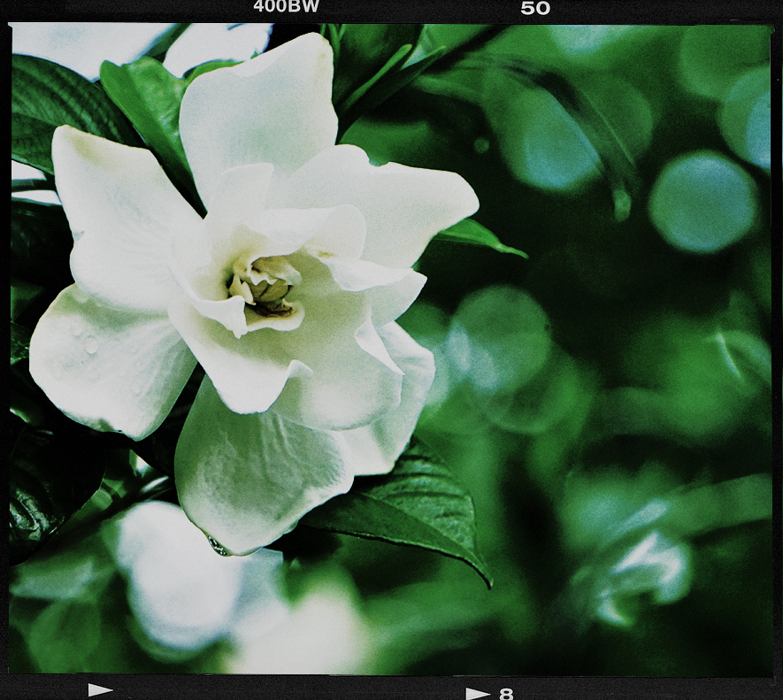 Gardenie.